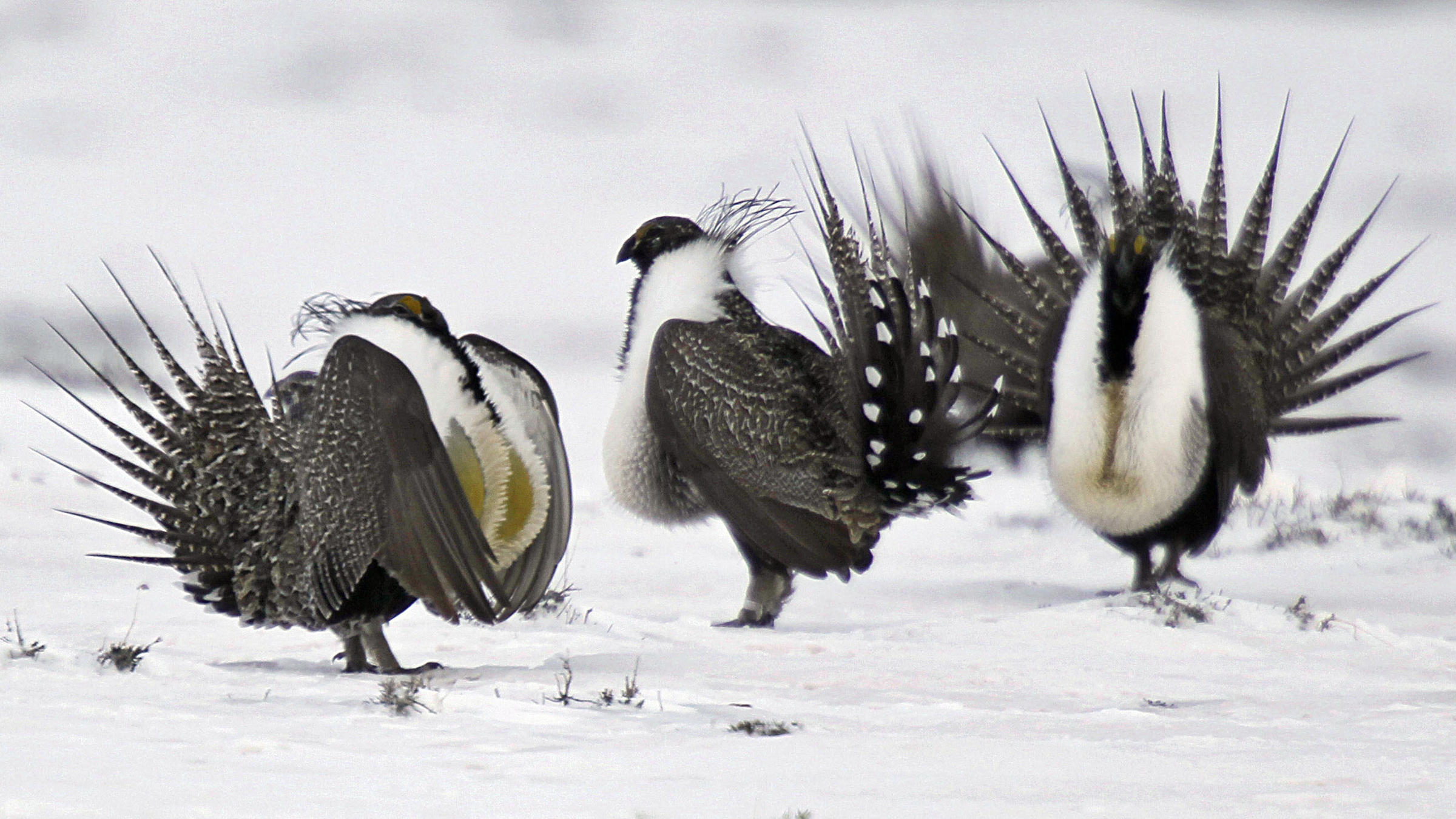 Secretary Of Interior On Sage-Grouse Report
