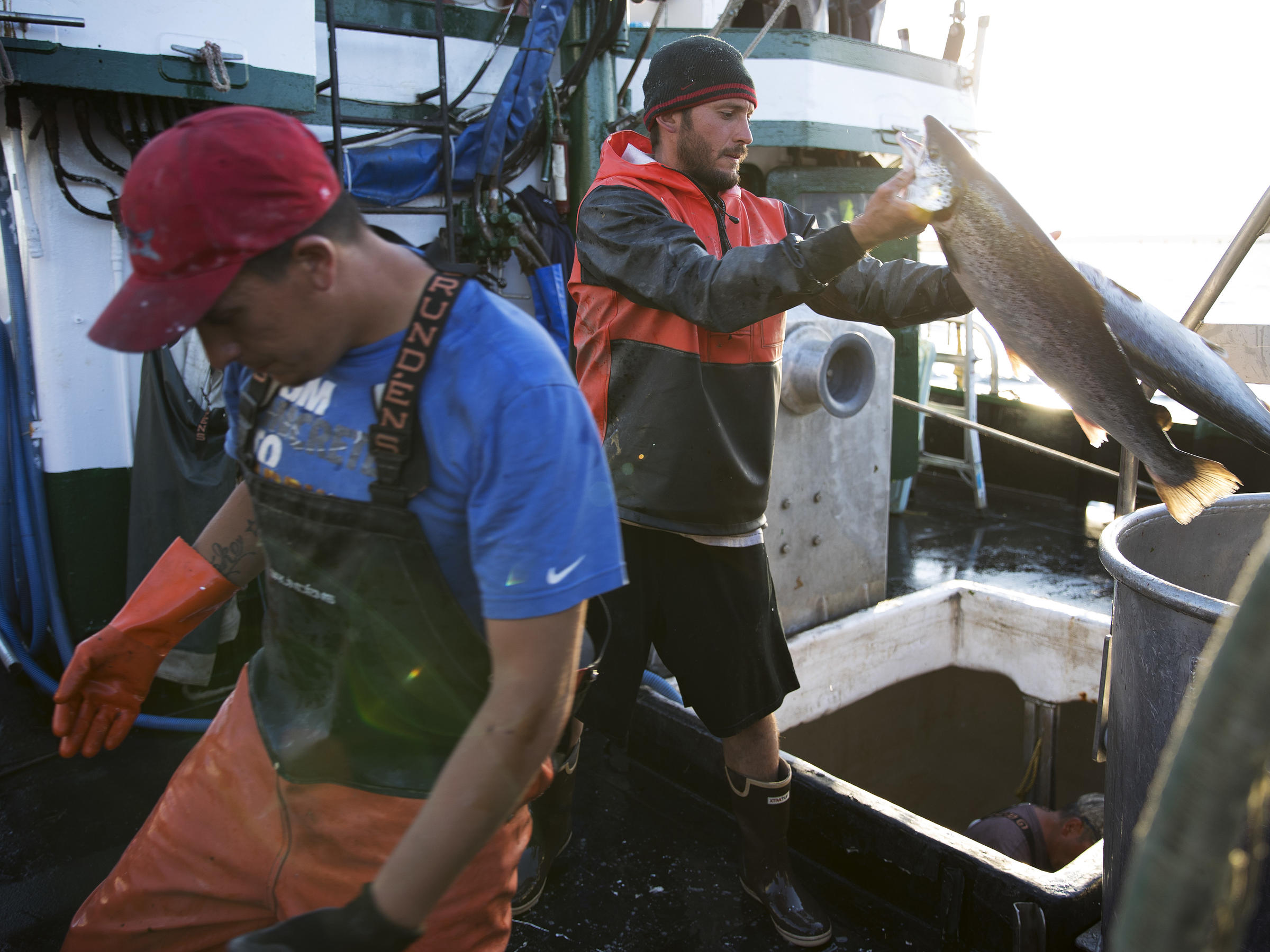 Eclipse's high tides cause mass farmed Atlantic salmon escape