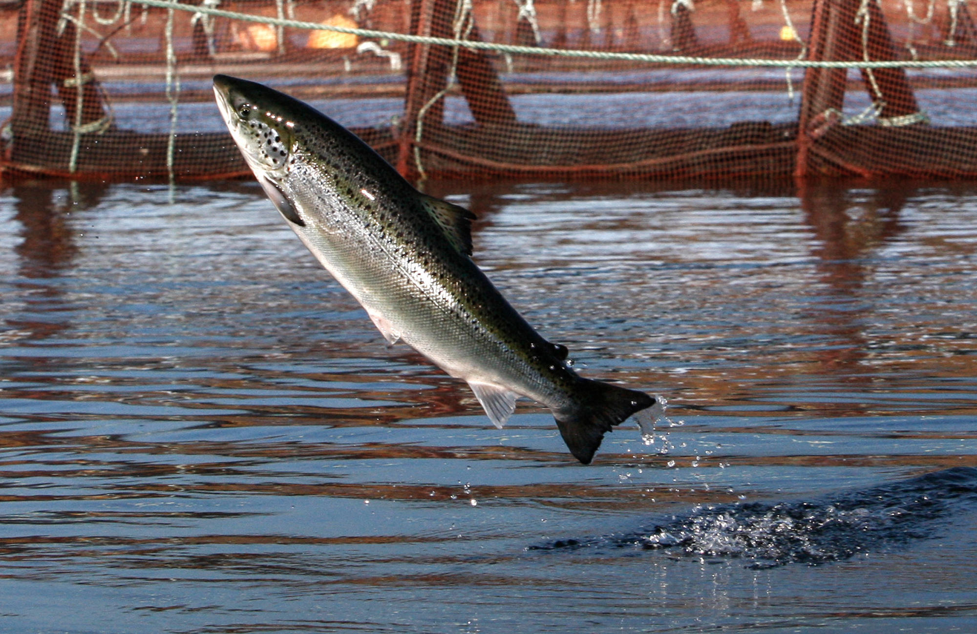 Native anglers have caught 20000 farmed Atlantic salmon in Pacific