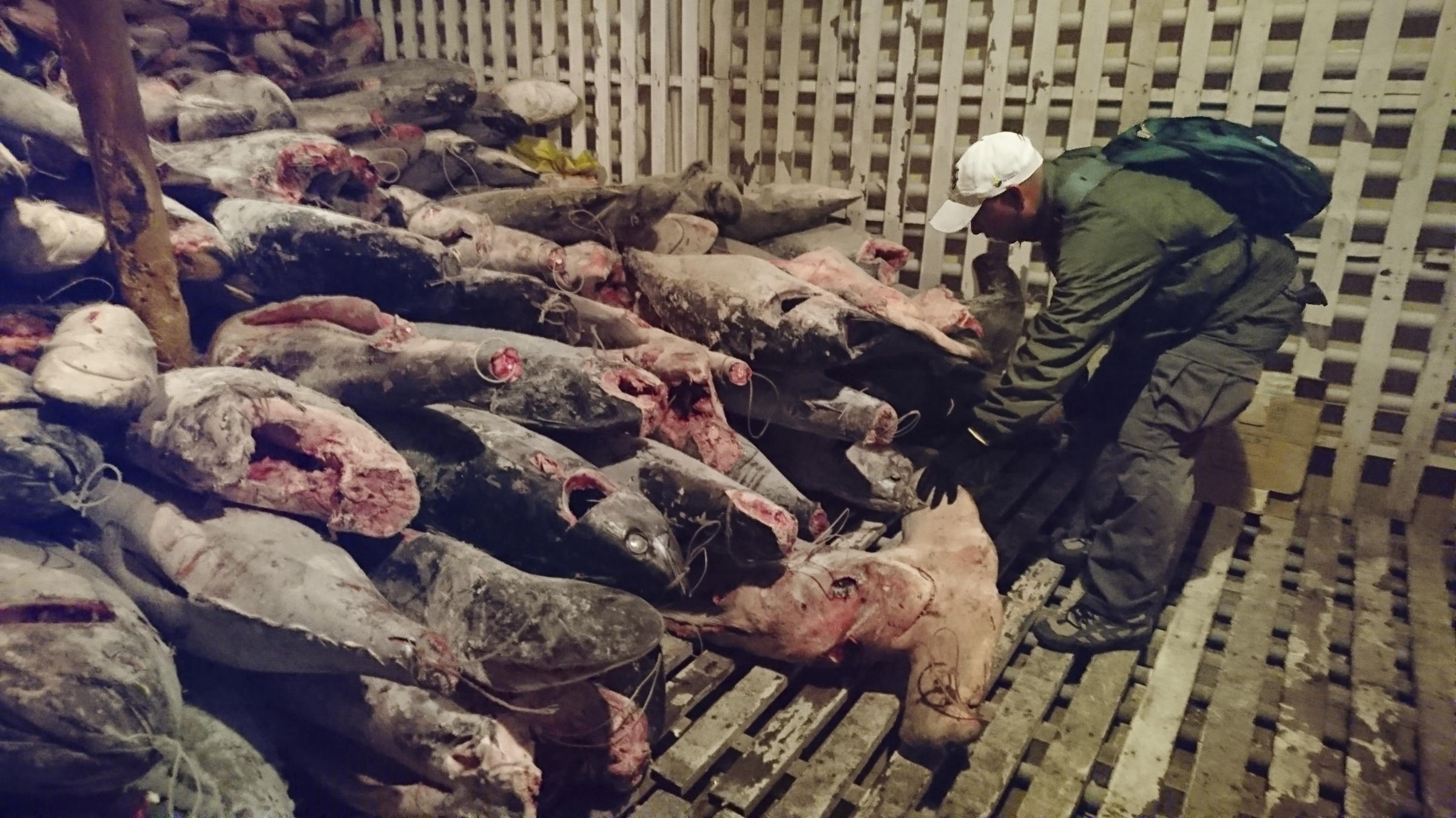 Fishermen Caught With 6600 Sharks In Galápagos, Now Headed To Prison