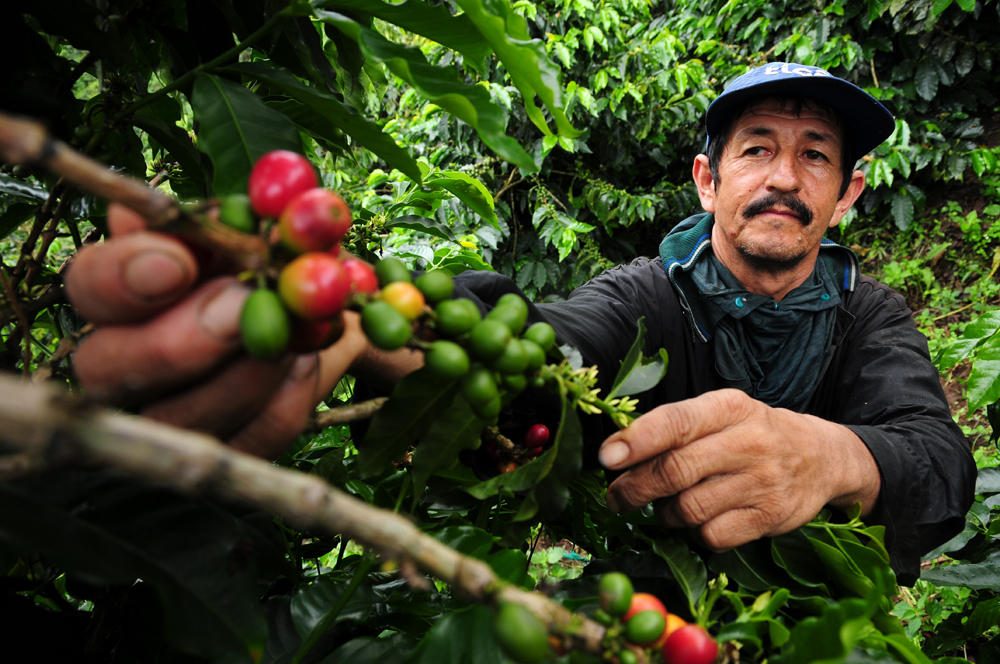 Climate Change will reduce the Coffee-Production