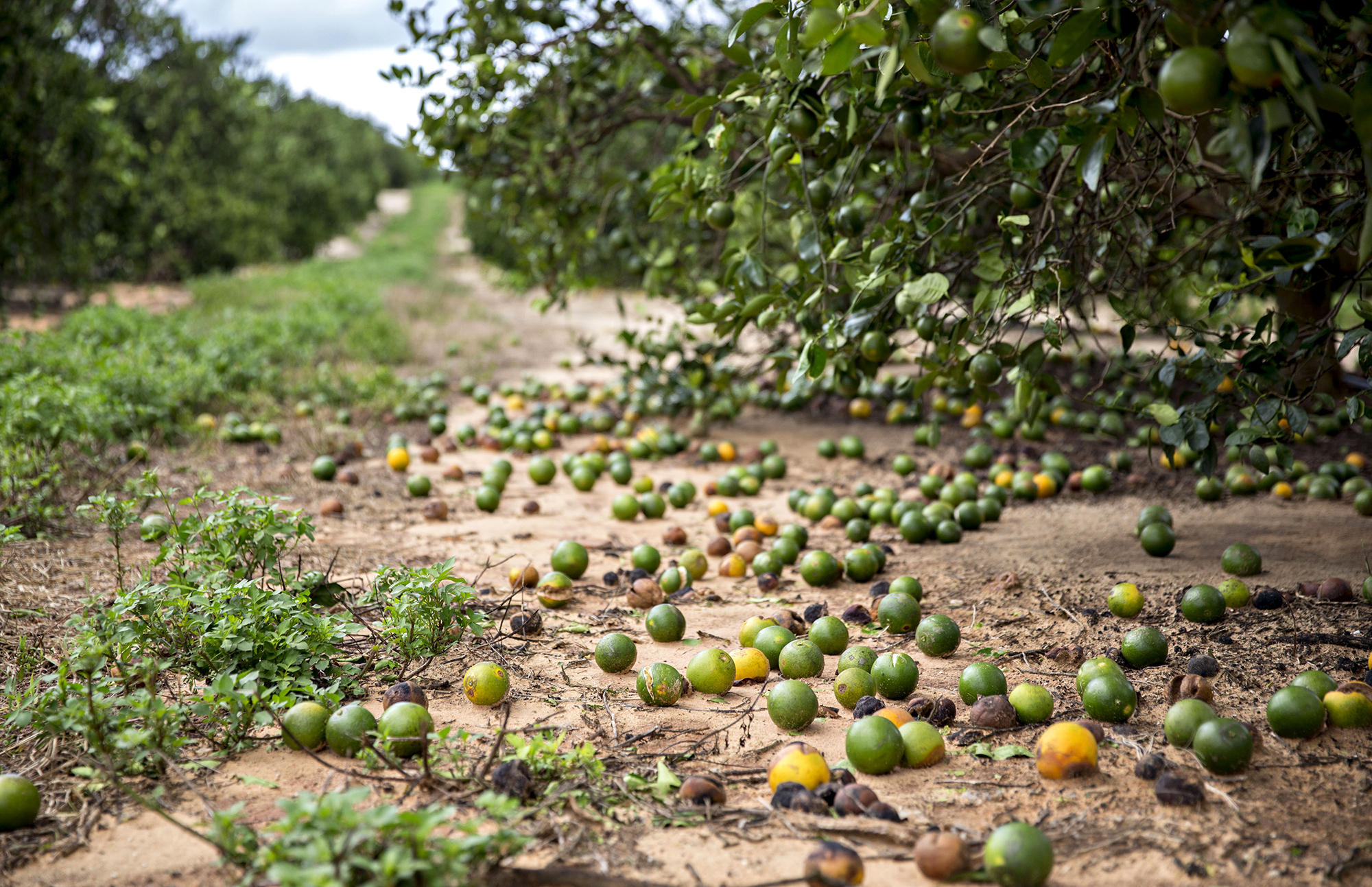 Serious Damage to Florida Citrus Crop, Says State Ag Commissioner