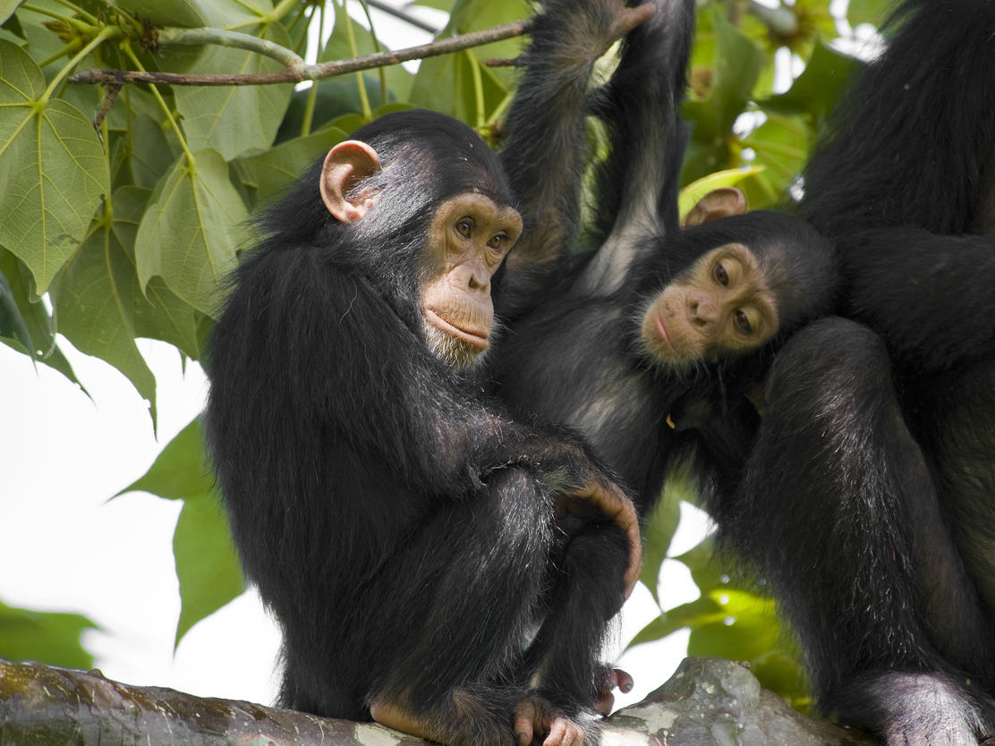 a short study on chimpanzees Primatologist jane goodall was sent to the then british protectorate of tanganyika to study chimpanzees in the gombe stream chimpanzee reserve by dr louis leakey.