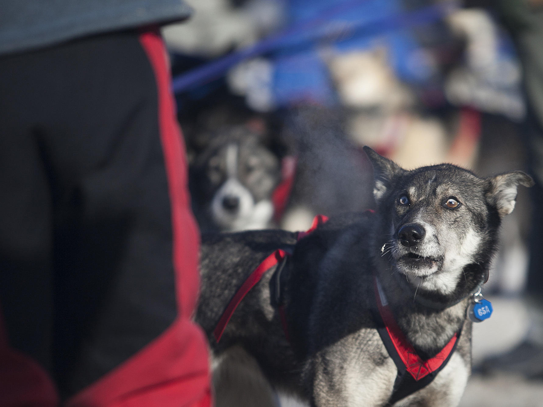 Sled dogs test positive for opioids — Iditarod first