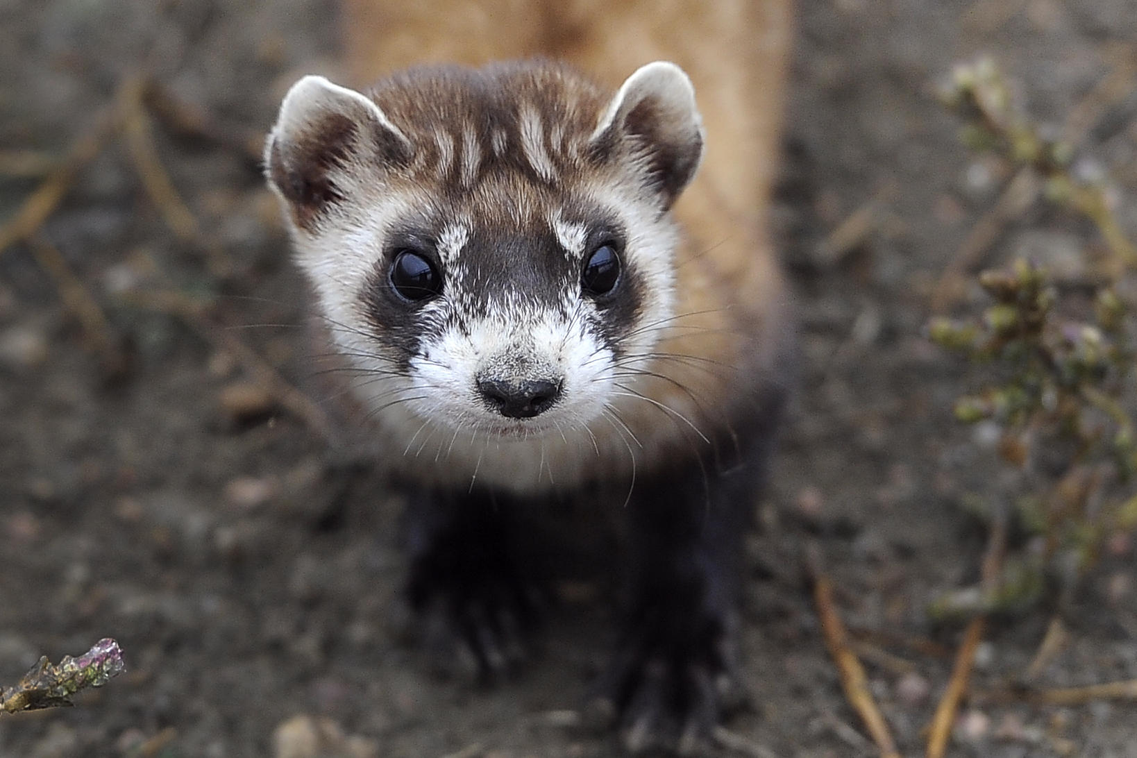 an introduction to the ferrets and their endangerment Introduction: once common, the black-footed ferret is an endangered animal in 1986 there were only 18 black-footed ferrets alive today there are almost 1,000 question: what would happen to the ecosystem student exploration sheet.