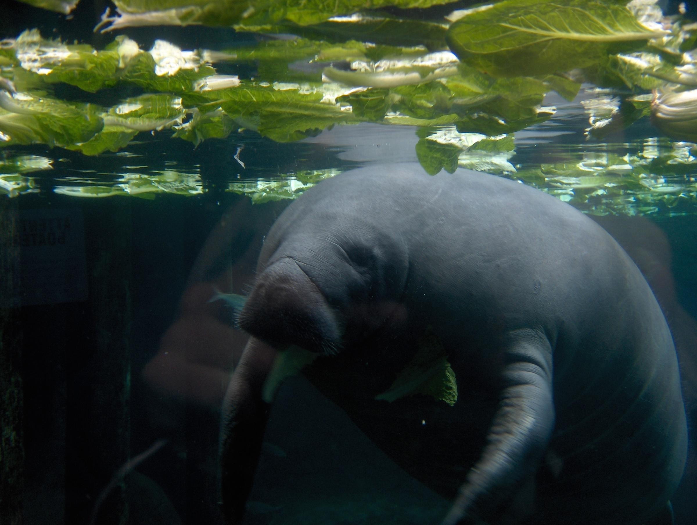 Watch Out For Distressed Manatees, Turtles During Cold Snap