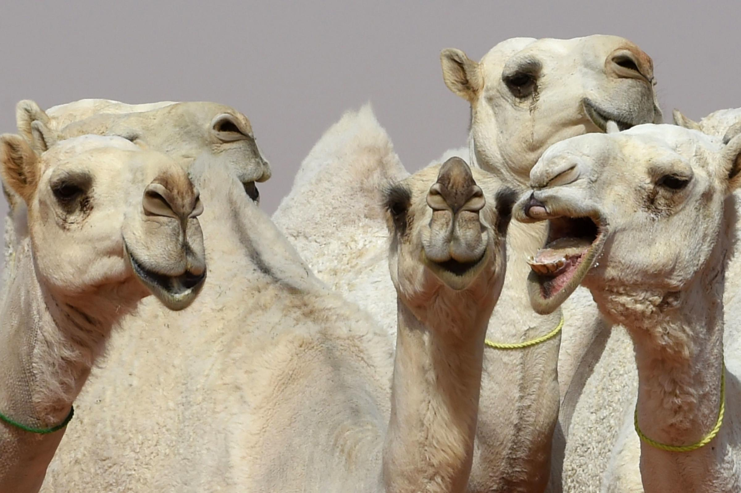 Saudi Beauty Competition Disqualifies Twelve Camels for Botox Injections