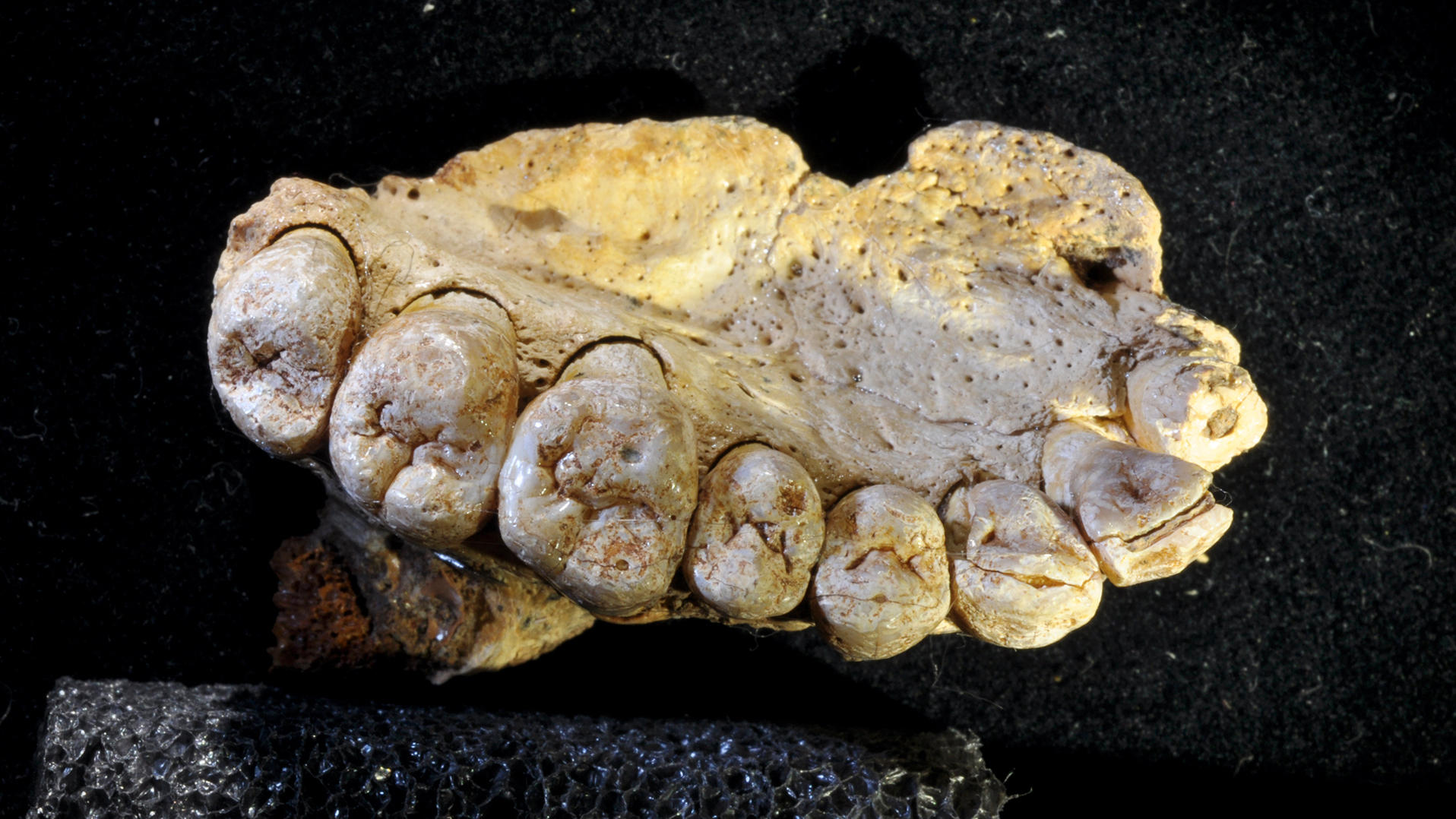Ancient jawbone suggests humans left Africa 50000 years earlier