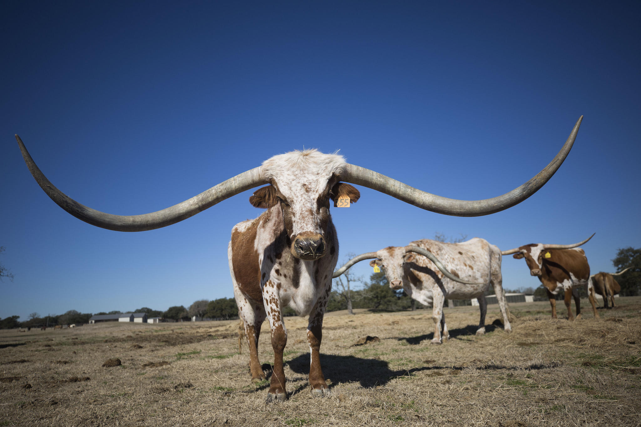 a 380 000 longhorn a look at the never ending race for the biggest