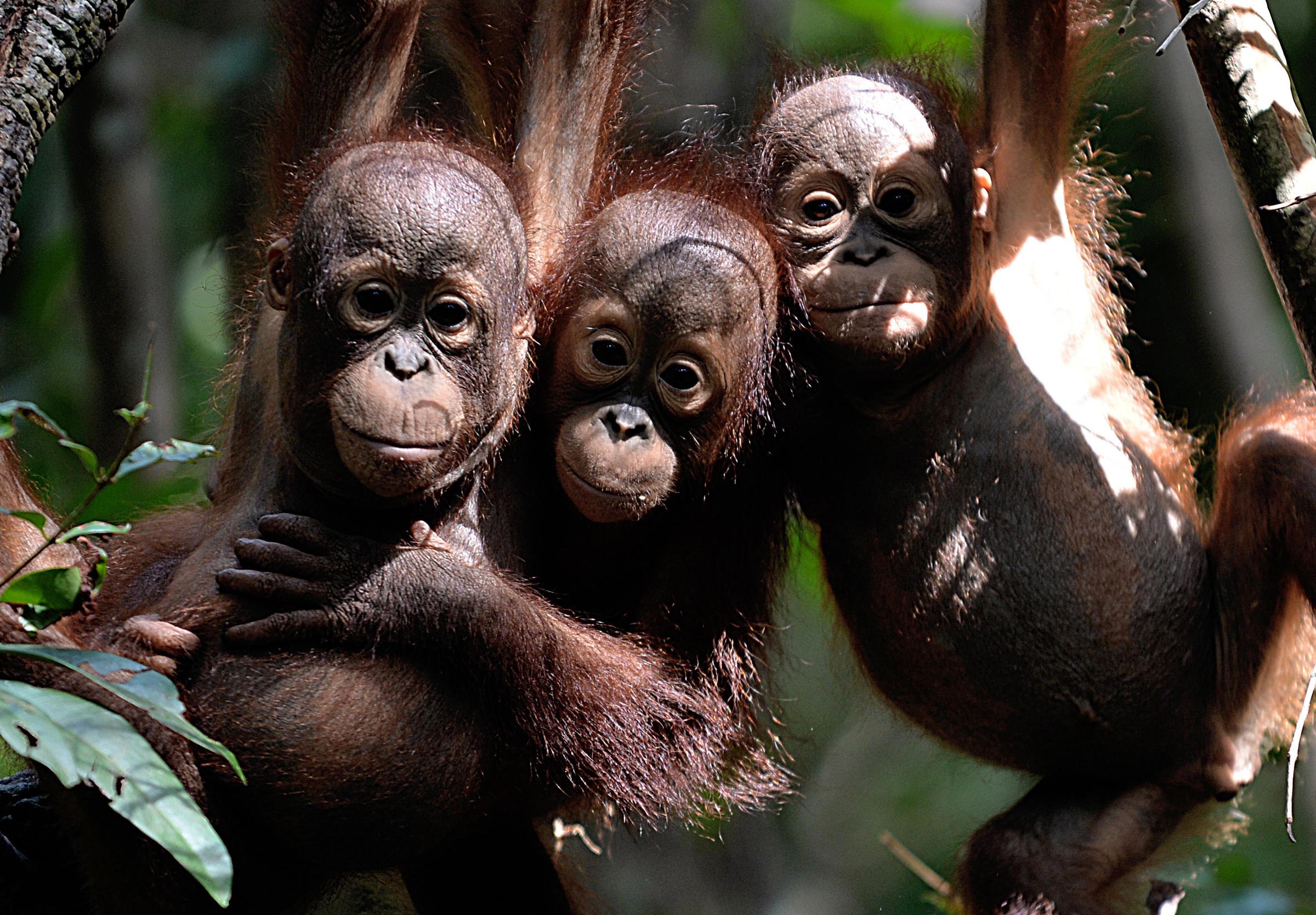 Borneo's Orangutan Population Declines By 100000 in 16 Years