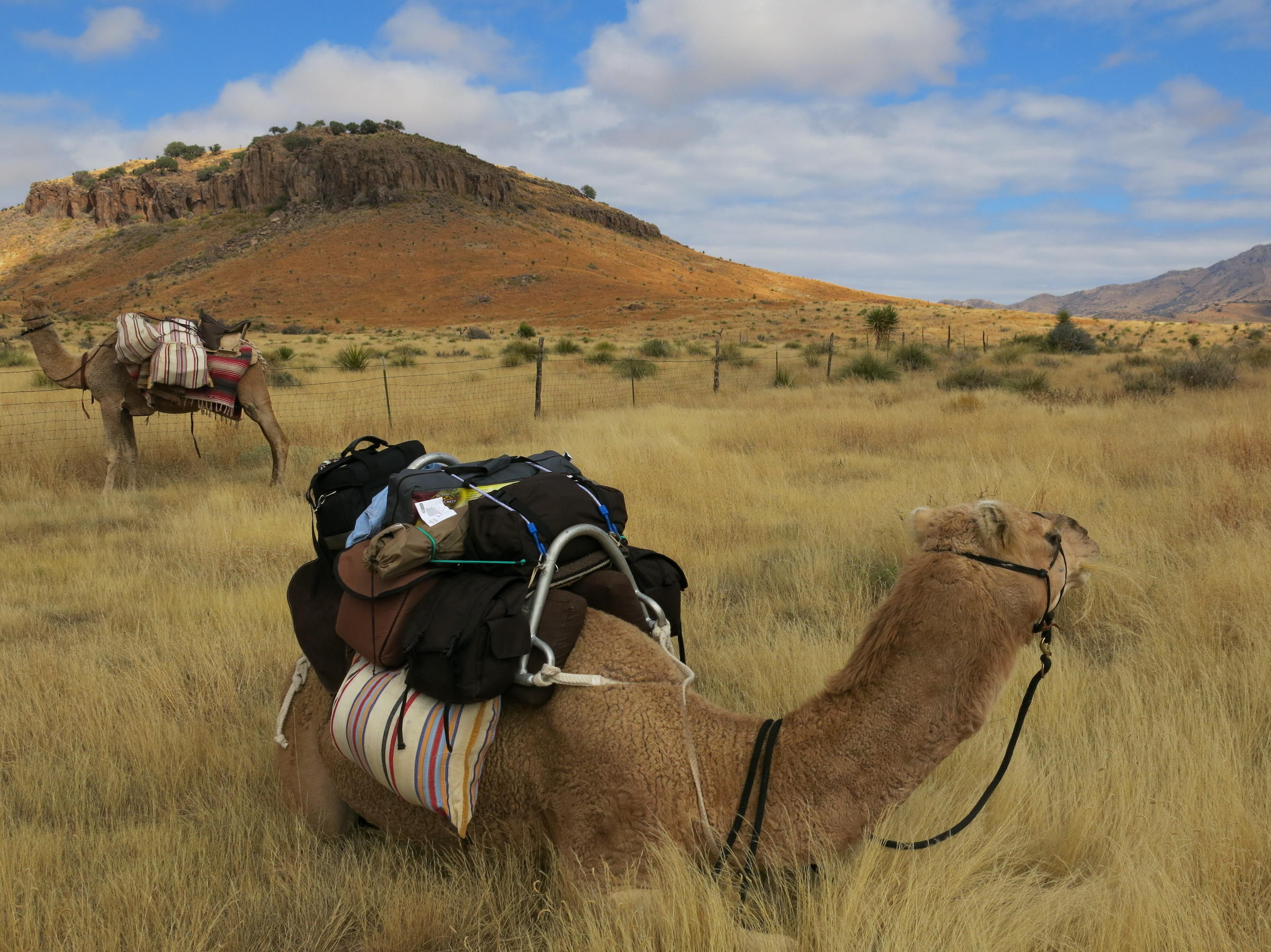 Camels Trek In The Texas Desert, Just Like Old Times | KUT
