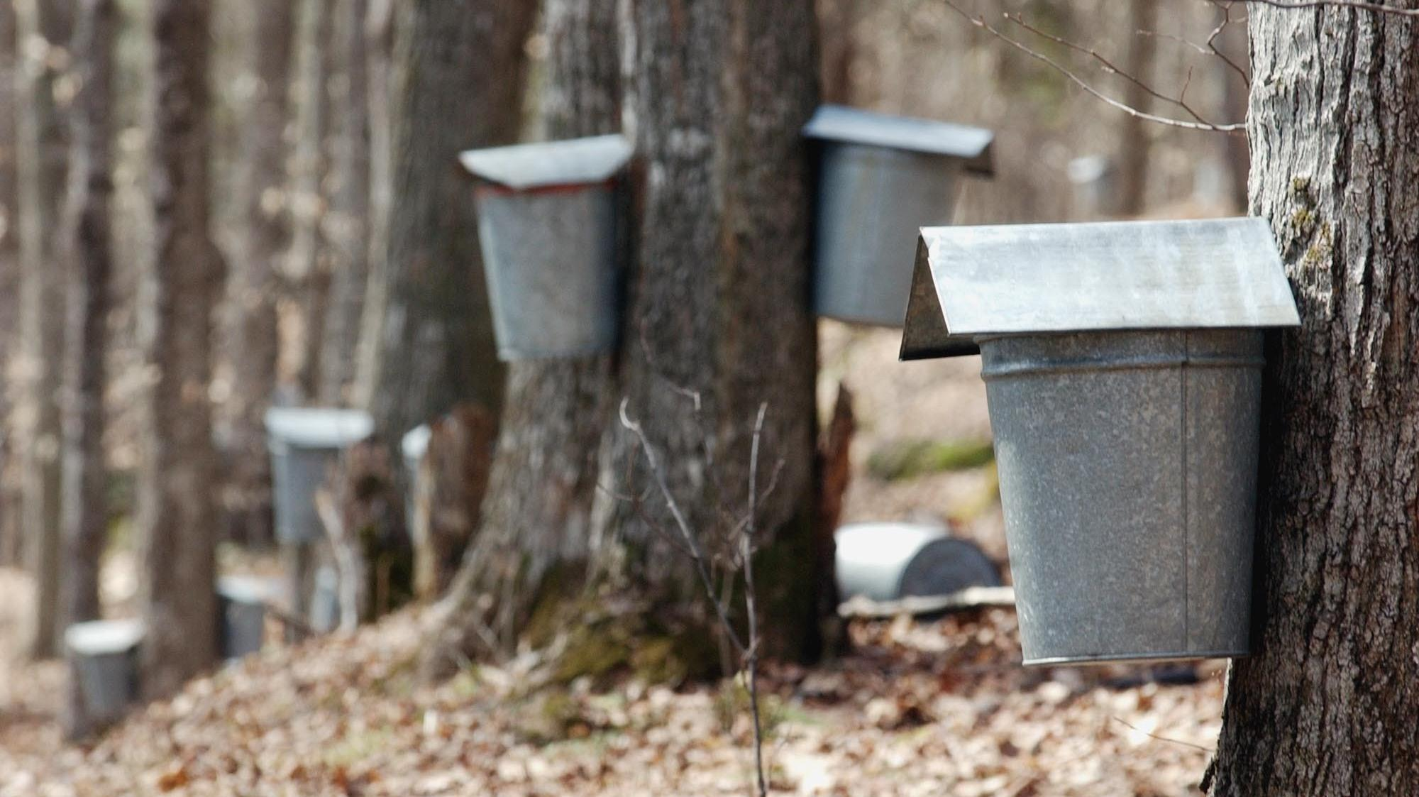 ccbf8179e73 Buckets collect sap on maple trees in Vermont. A new discovery means that  sap doesn t have to be collected from mature trees out in the wild.