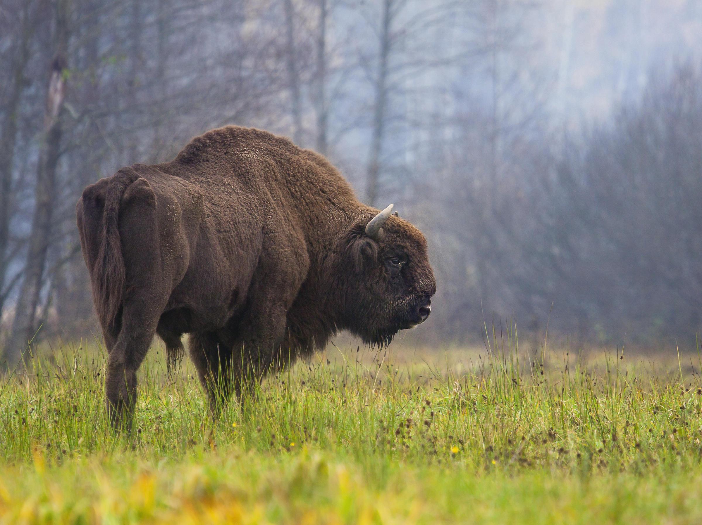 Image result for bison are back