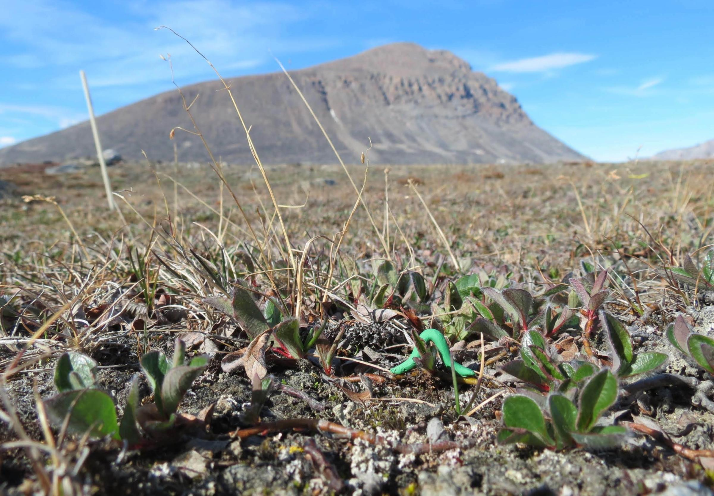 A dummy caterpillar awaits predators at the Zackenberg site in Northeast  Greenland. It was just one of thousands of such clay creatures deployed  around the ... 74a89469ed