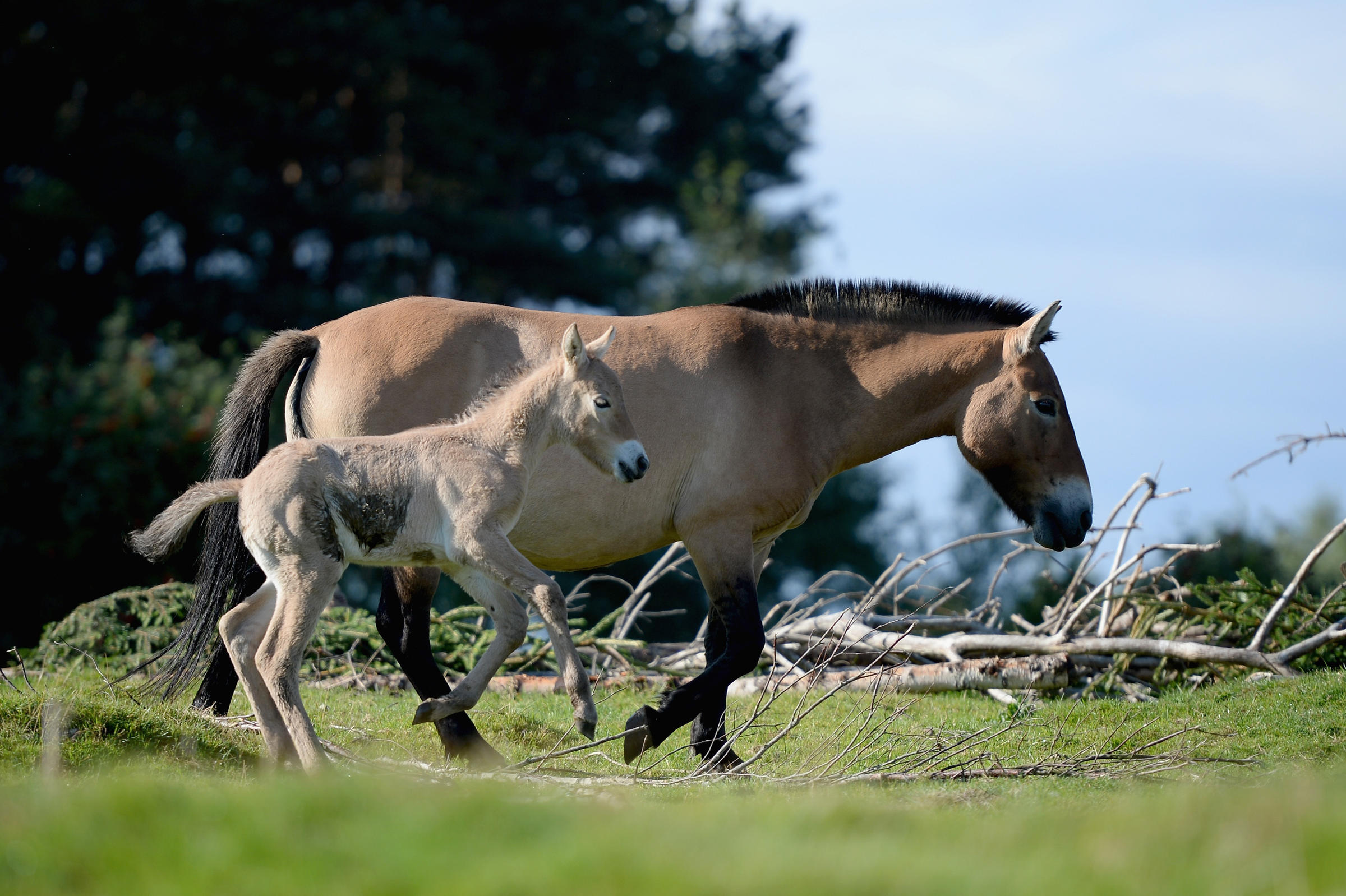 A Przewalski Mare With Her Foal At The Highland Wildlife Park In Kingussie Scotland