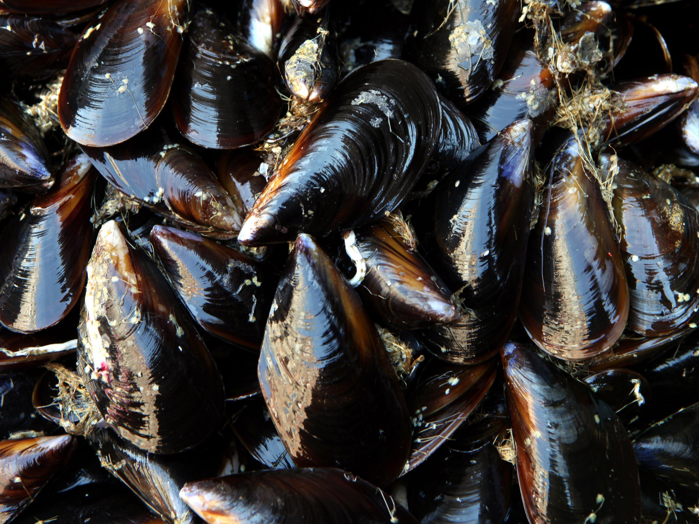 Seattle Mussels Test Positive for OPIOIDS
