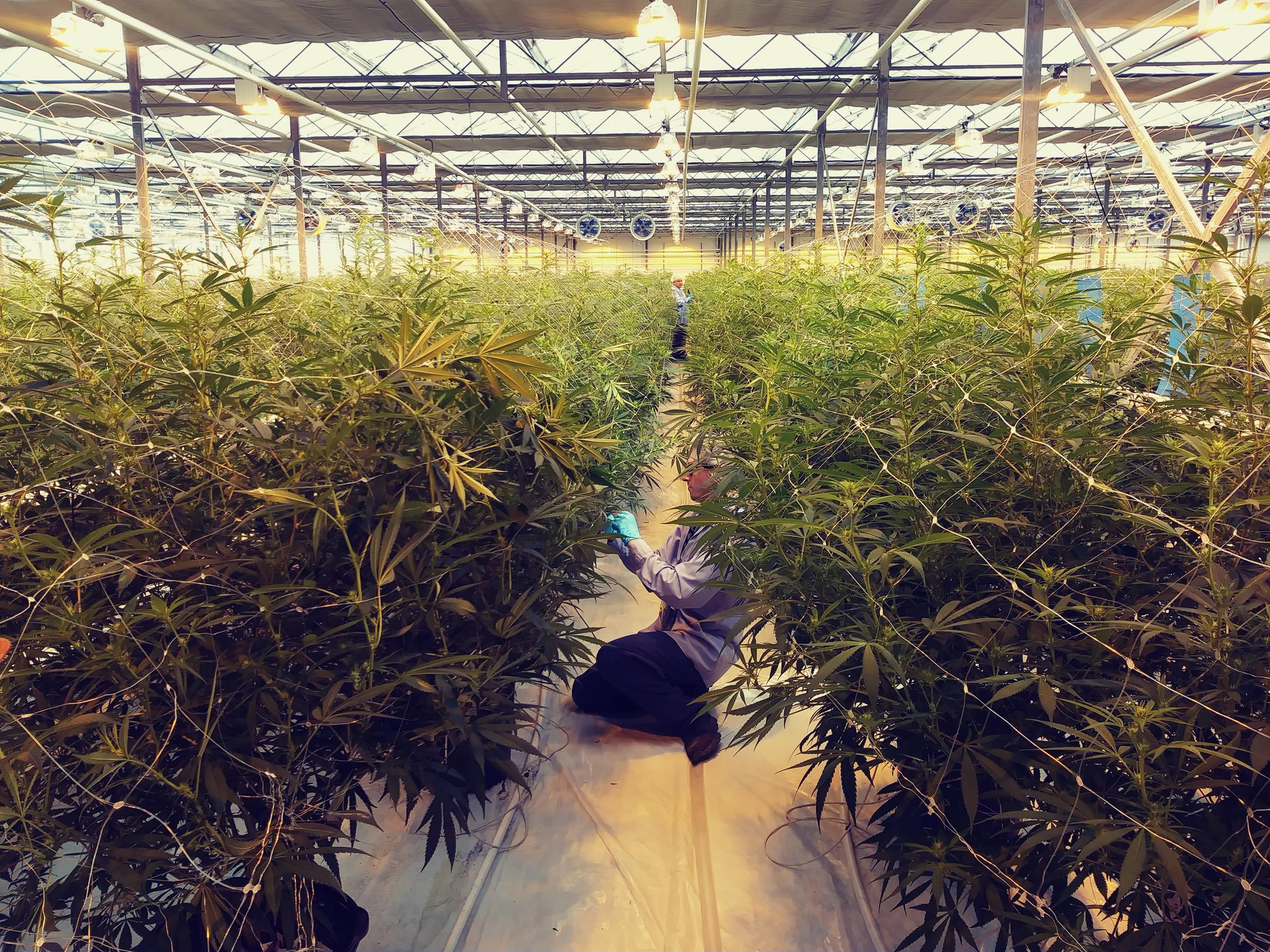 Huge pot farm coming to Great Lakes region   WBFO