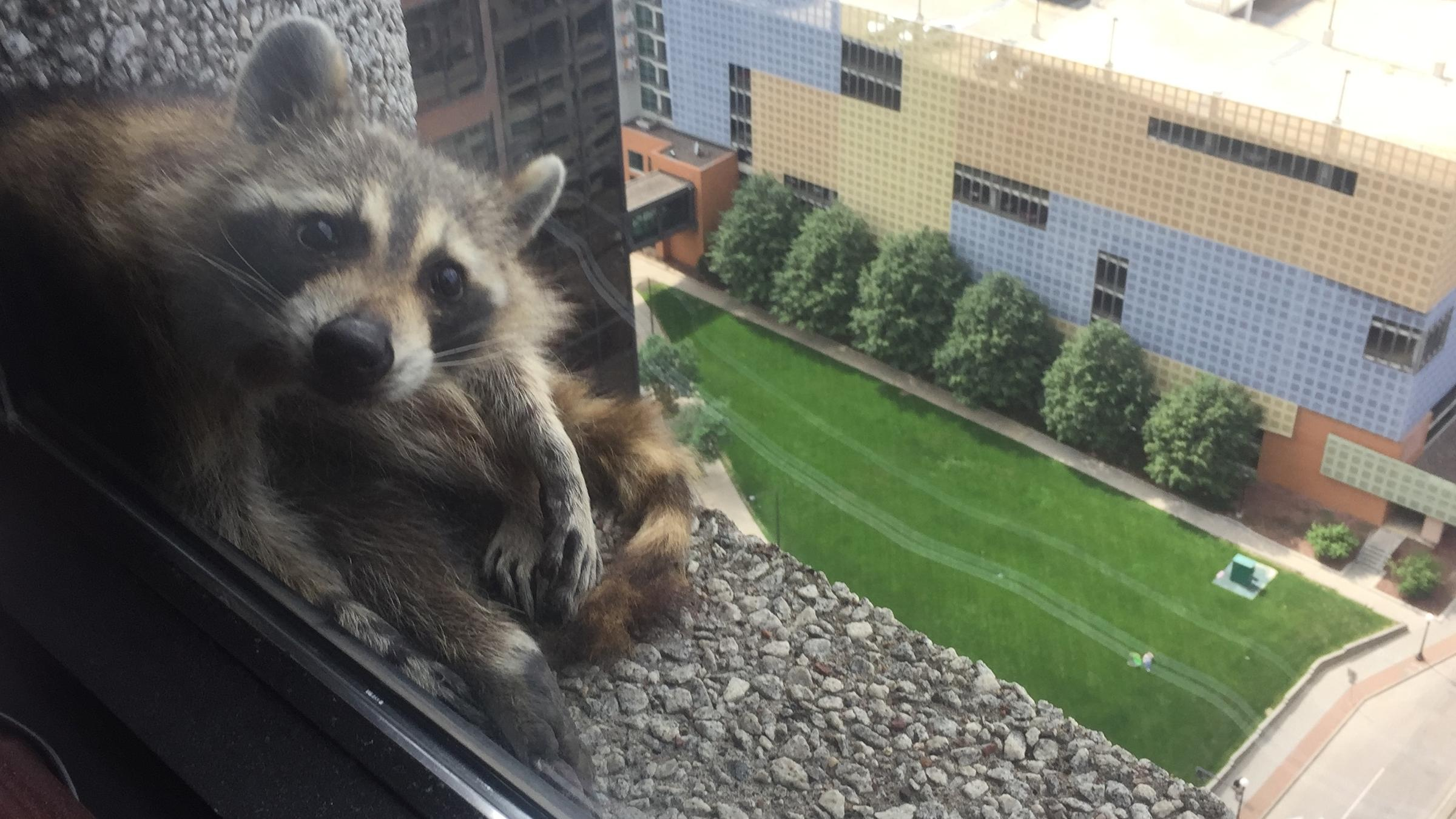 You Can Do It! Skyscraper-Climbing US Raccoon Transfixes Twitter