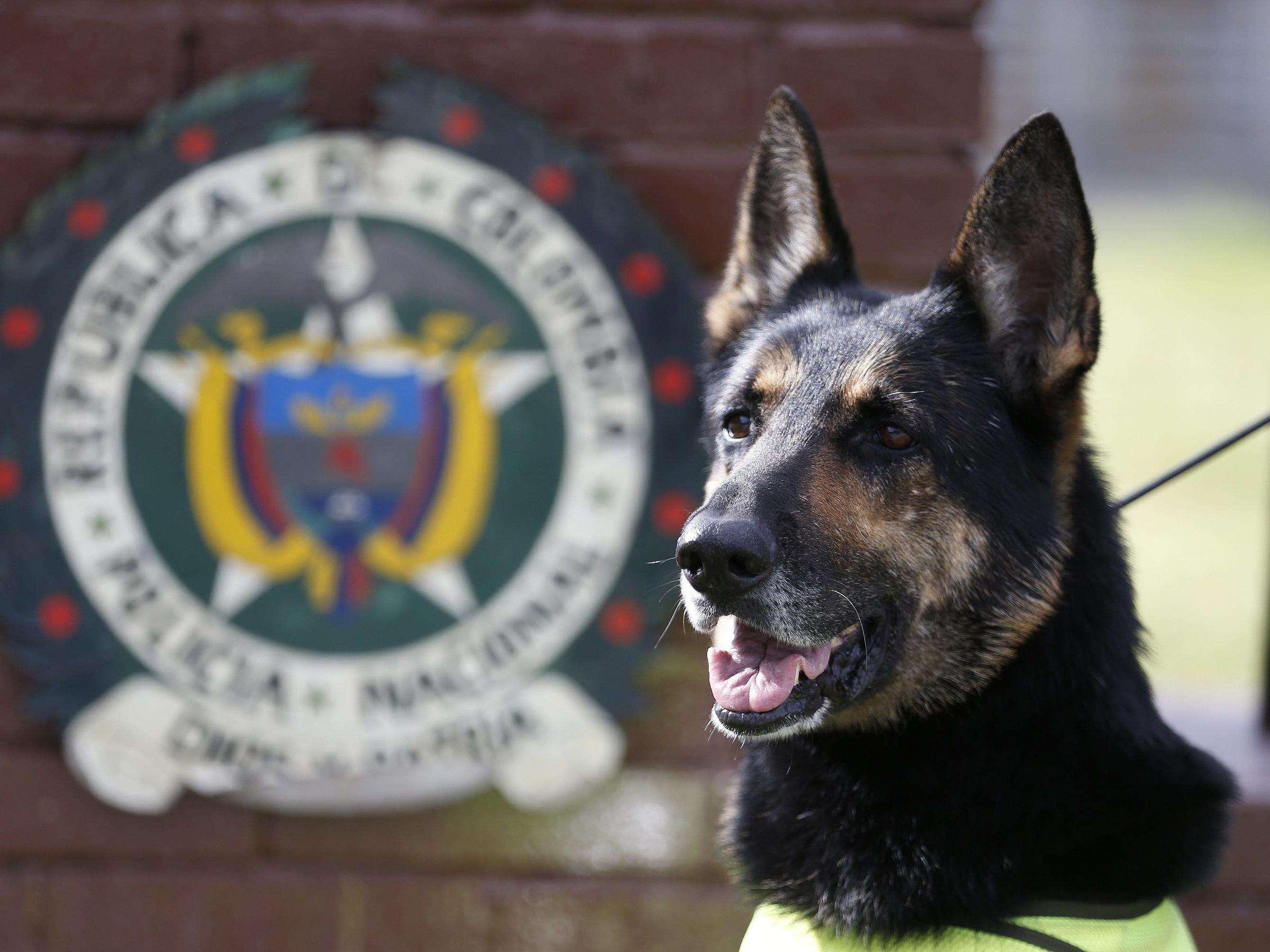 Sombra a drug-sniffing dog who works with Colombia's police was relocated after a criminal organization put a price on her head