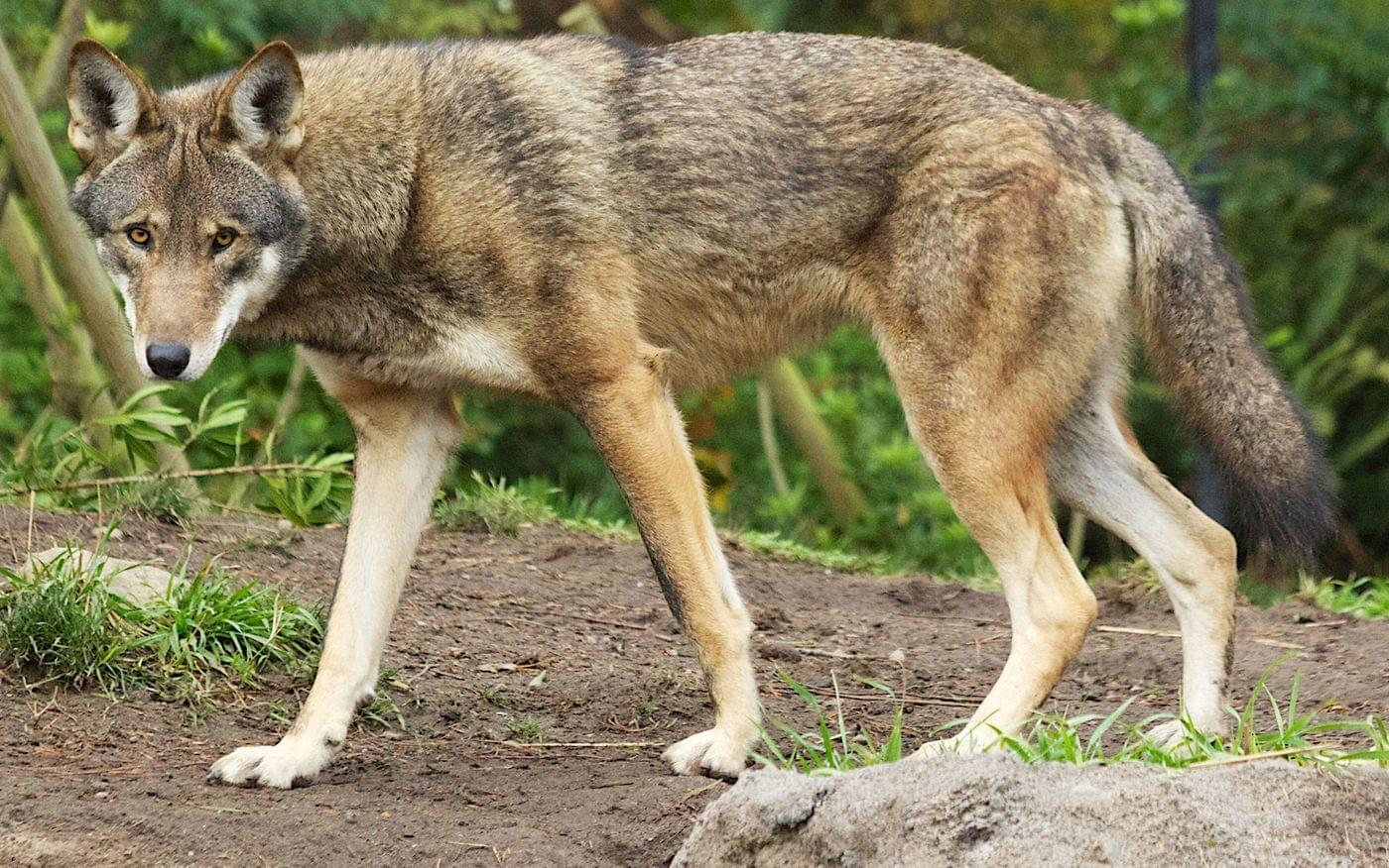 eureka based wolf refuge to build home in arkansas for the world s