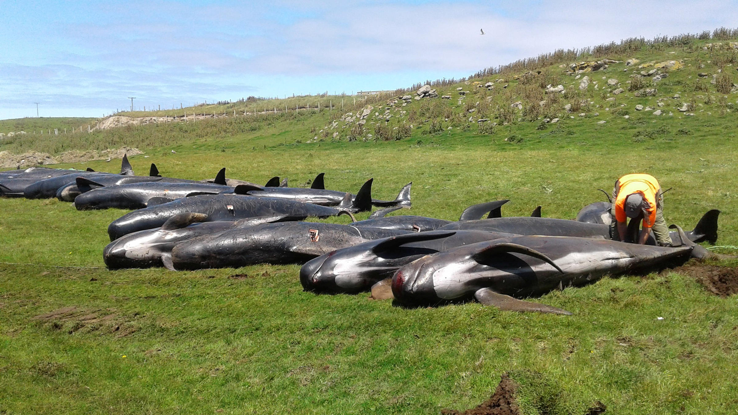 More than 50 whales dead after another mass stranding