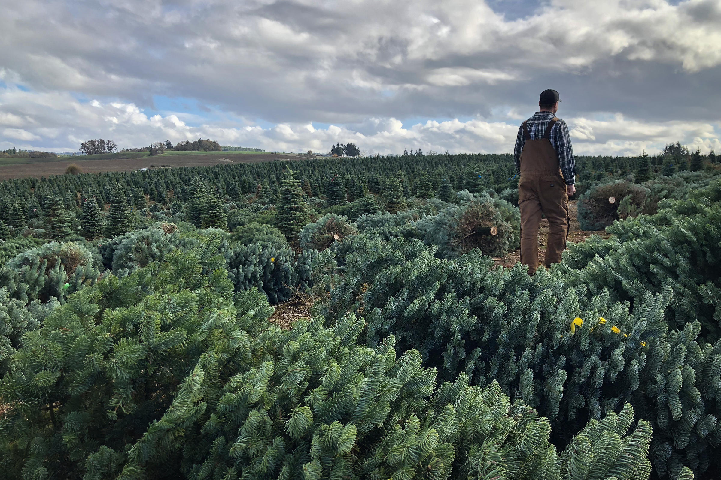 Casey Grogan walks through some recently cut noble fir Christmas trees at his farm near Silverton, Ore. This year he plans to harvest 60,000 trees off his ...