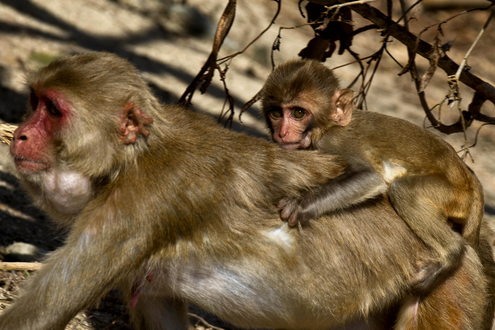 What Puerto Rico's Monkeys Post-Maria Teach Us About Survival