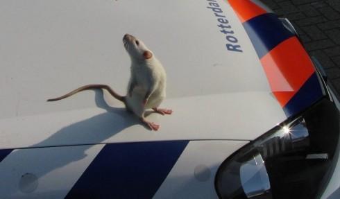 "<p>Magnum, a Dutch police rat, ""on patrol.""</p>"