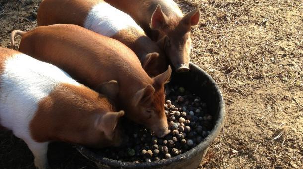 Pigs-Eating-Acorns.jpg