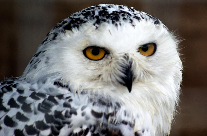 Reporter's Search For A Snowy Owl Takes Him From Maryland To Ontario