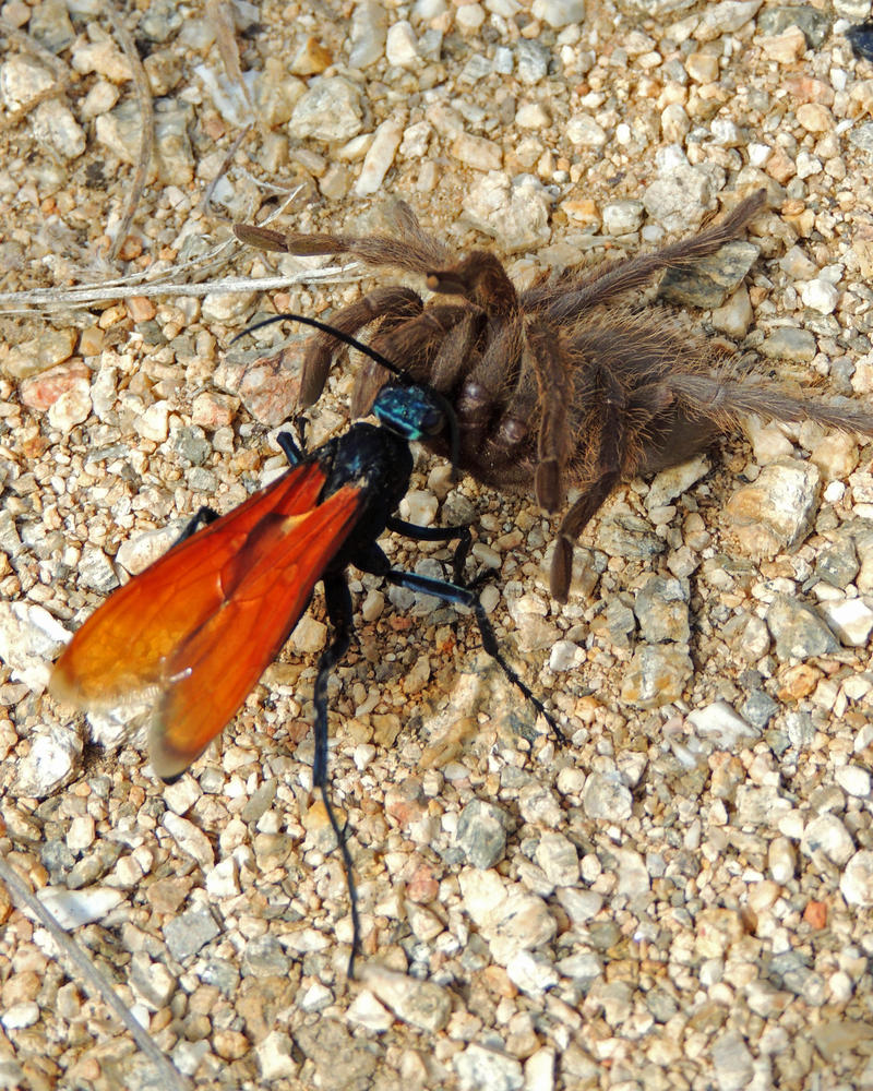 The tarantula hawk is actually a large wasp. If you are ever stung by one, Schmidt says the best thing to do is to just lie down and scream:
