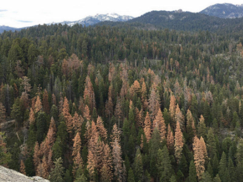 The U.S. Forest Service is removing some of the 66 million dead trees in the southern Sierra Nevada to reduce fuel for wildfires and for road safety. The agency says it has removed 80,000 trees so far. This view is in the Sequoia National Forest.