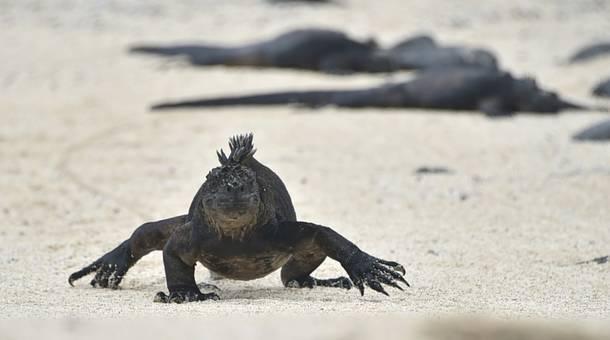 iguana_0.jpg