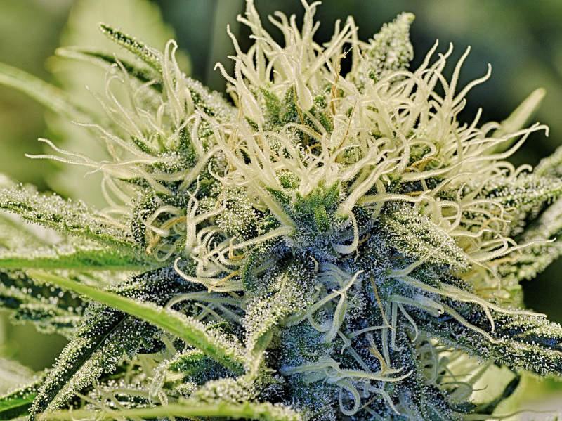 Cannabis 101916P