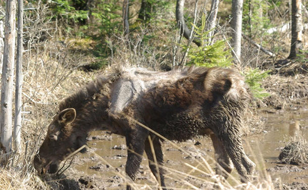 <p>Heavy tick infestations are killing Moose calves in large numbers in New Hampshire and Maine because of their small size and inability to replenish lost blood. </p>