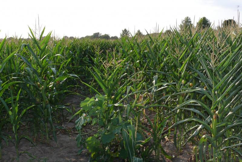 Leaves curl tightly on drought-stressed corn in a Tippecanoe County field in 2012. (Jennifer Stewart/Purdue Agriculture)