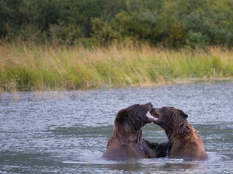 A pair of brown bears play in a pond at the Alaska Wildlife Conservation Center in Portage Glacier, Alaska, in 2009.