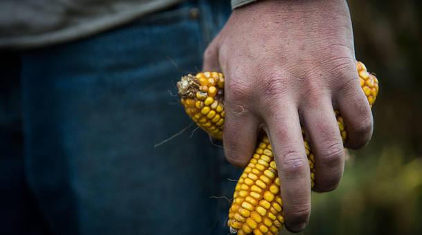 corn_1.jpg