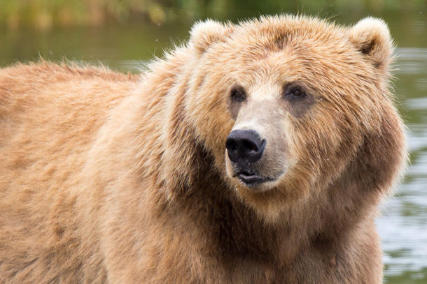 <p>Bears in Alaska, including the Kodiak brown bear, could be affected by the repeal of a rule that limited hunting in Alaskan wildlife refuges.</p>