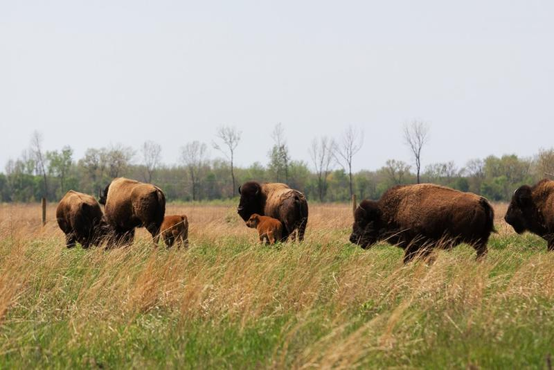 Two bison calves, the little red ones in the center, huddle nest to their mothers at Kankakee Sands. Since April nine calves have been born. Up to 16 are expected. (Ted Anchor/TNC)