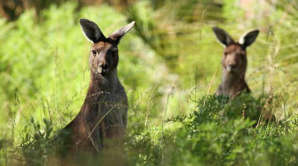 kangaroo_0.jpg