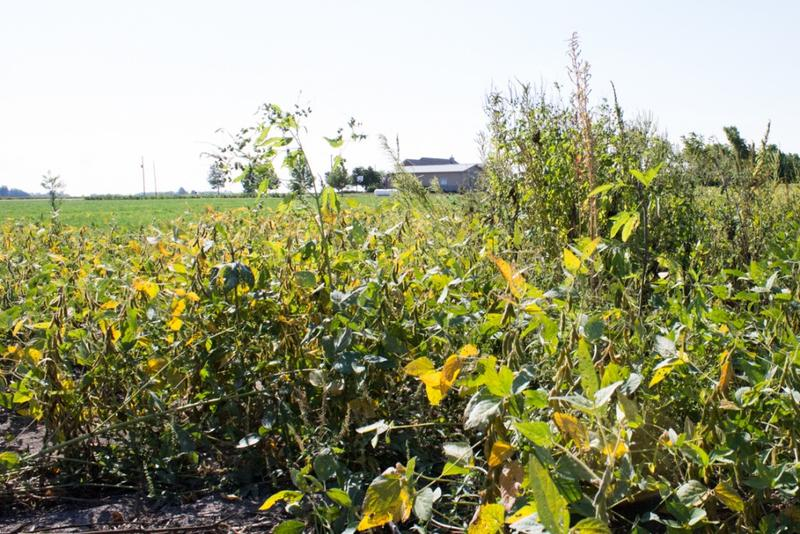 A glyphosate-resistant weed stands over over a patch of soybeans on Don Lamb's farm. Weeds like this are one reason some farmers turned to dicamba-tolerant soybeans this year. (Nick Janzen/IPB News)