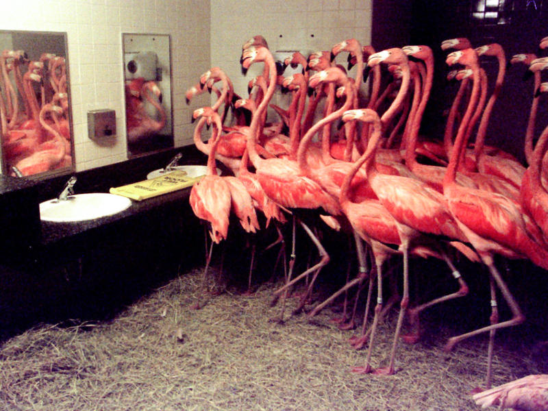More than 50 Caribbean flamingos take shelter in a men's restroom at the Miami Metrozoo (now Zoo Miami) on Sept. 25, 1998. Zookeepers rounded up the birds to protect them from the effects of Hurricane Georges. This was not the first time the zoo had to co