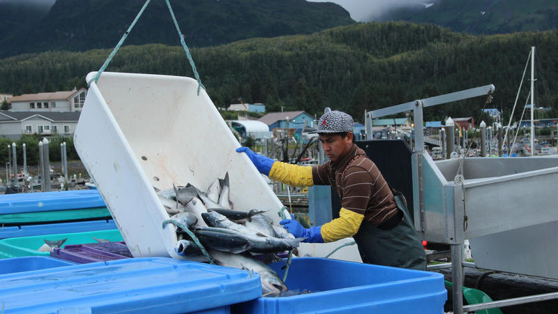 <p>Fishermen sell their daily catch at the docks in Cordova, Alaska, where they are weighed, packed in ice, and sent to a processing facility.</p>