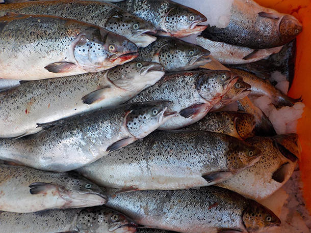 <p>More than 160,000 Atlantic salmon escaped from a broken aquaculture pen off the coast of Cypress Island in the Puget Sound. These escapees were caught by local fishermen and await identification.</p>