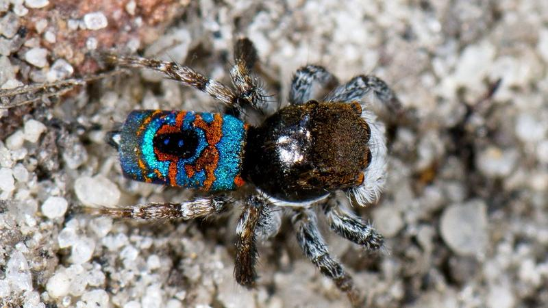<p>A peacock spider.</p>
