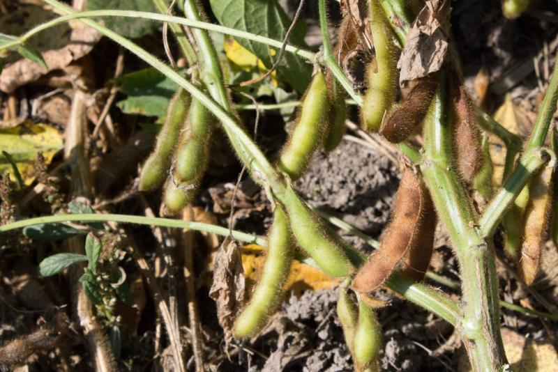 Soy beans (Nick Janzen/IPB News)