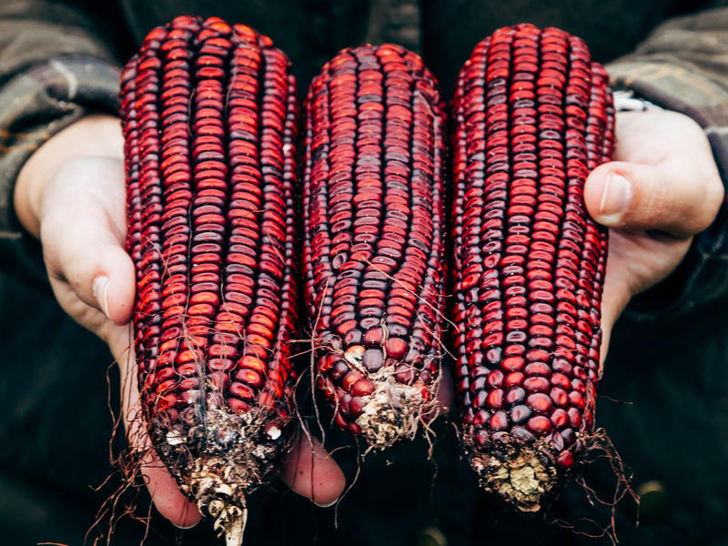 For nearly a century, Jimmy Red corn was used by bootleggers to make moonshine whiskey. The variety nearly went extinct in the early 2000s, but two remaining ears of corn were used to revive it. Now, the heirloom corn is thriving in the South, and being u