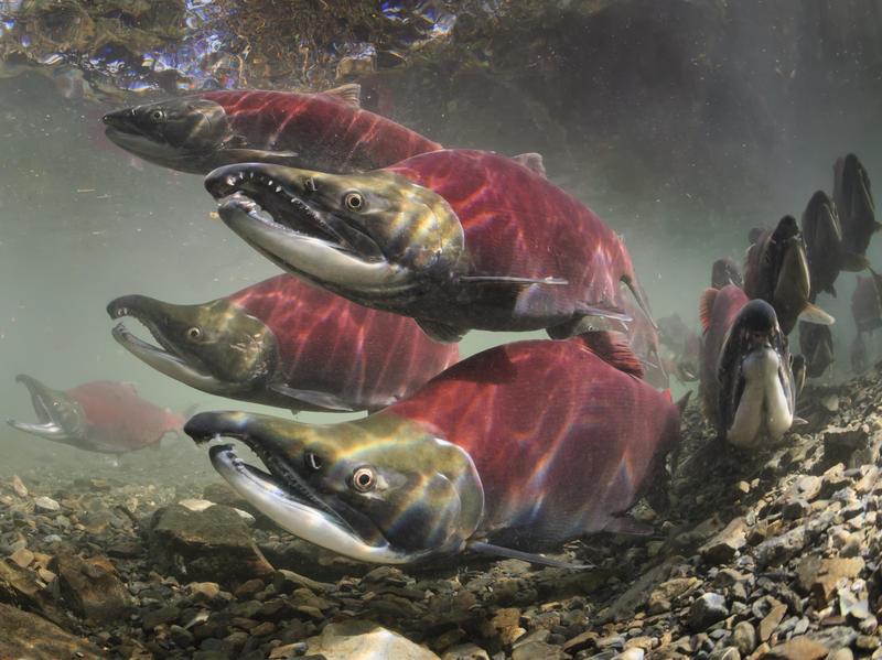 Sockeye salmon swim to spawning grounds.