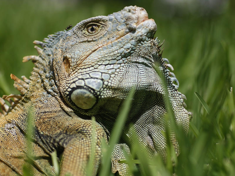 """The Animal Rights Foundation of Florida says the way state scientists are killing iguanas is downright """"brutal."""""""